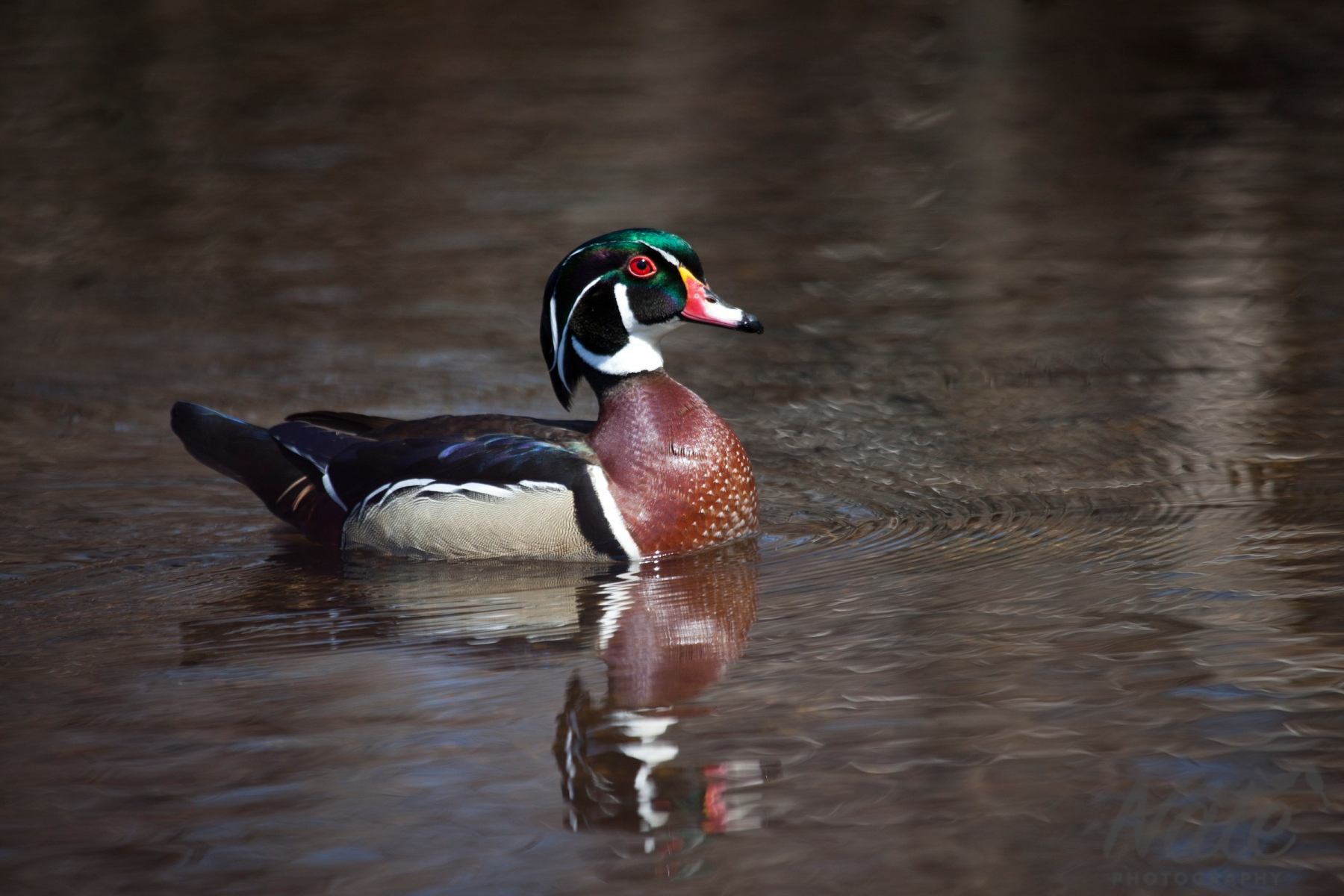 mating wood ducks, Nate Photography