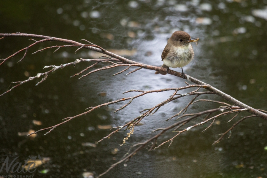 Eastern Phoebe, Nate Photography